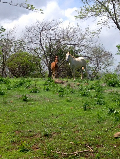 Horses grazing on the finca